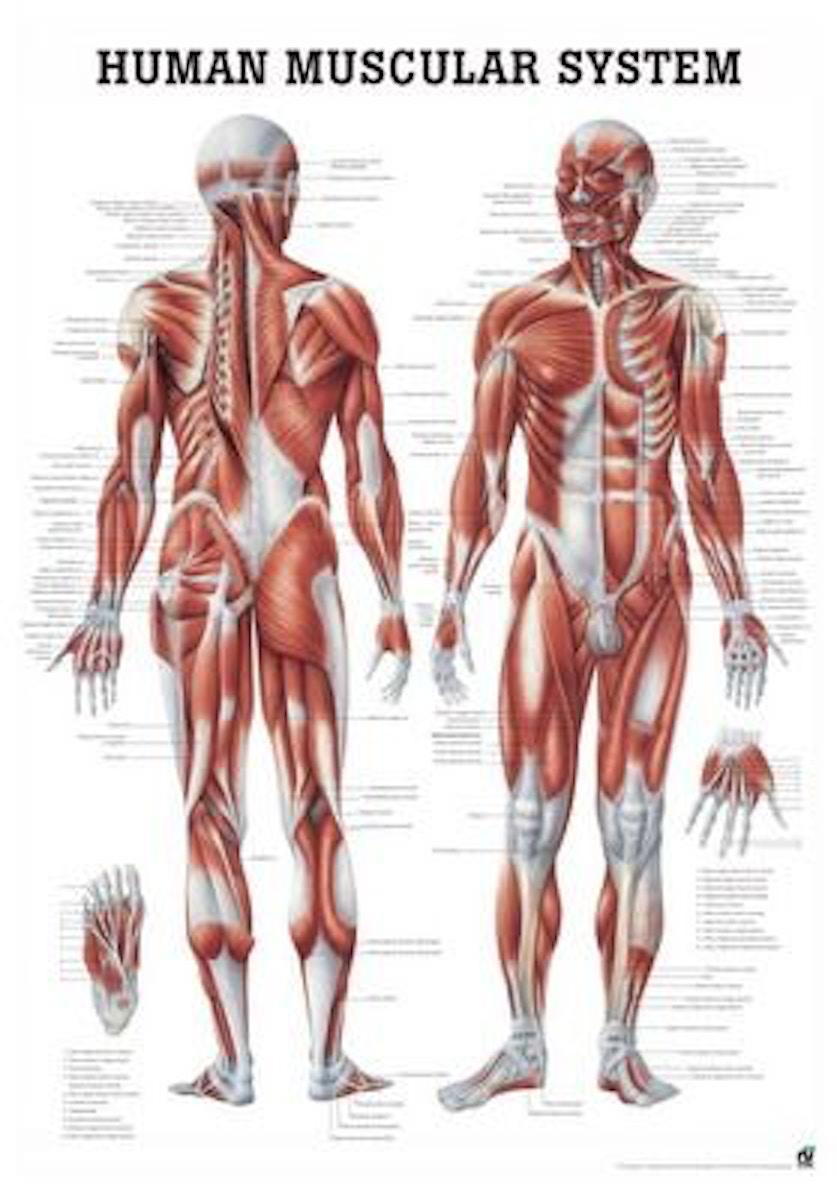 kroppens muskler dansk