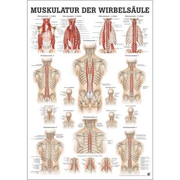 Ryggens muskulatur plakat tysk/ren latin laminert med sorte metallister