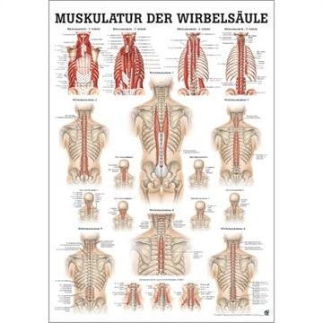 Lamineret muskelplakat om ryggens dybe muskler på latin & tysk