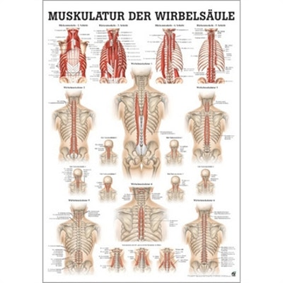 Laminerad plansch med ryggens djupa muskler tyska & latin