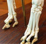 Ægte hundeskelet (Canis domesticus) i naturlig størrelse præsenteret på en stander