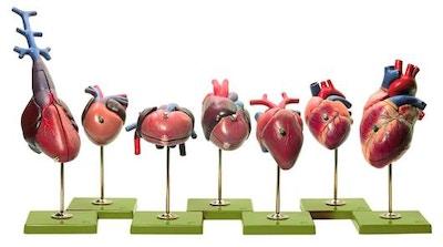 7 modeller af hjerter fra hvirvel-dyrenes 5 grupper i højeste kvalitet. Alle kan deles i 2