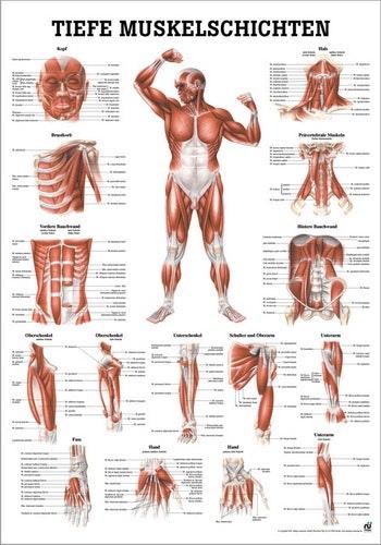 Lamineret muskelplakat målrettet kroppens forside på tysk & latin