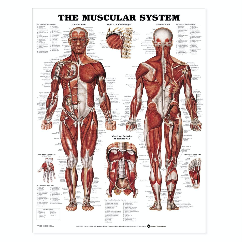 Muskelplakat engelsk