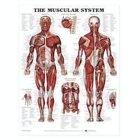 Muskelsystemet, plakat på engelsk