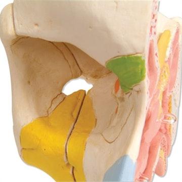 Næse- og sinusmodel i 5 dele
