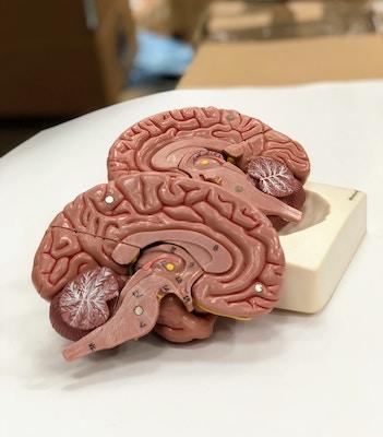 Hjernemodel med et meget naturtro udseende. Kan adskilles i 8 dele