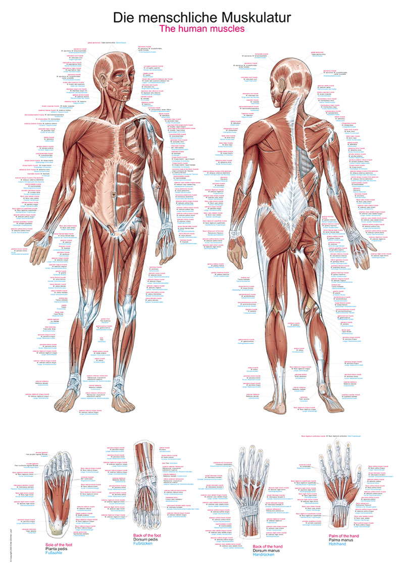 Ziemlich Die Anatomie Der Muskeln Fotos - Anatomie Von Menschlichen ...