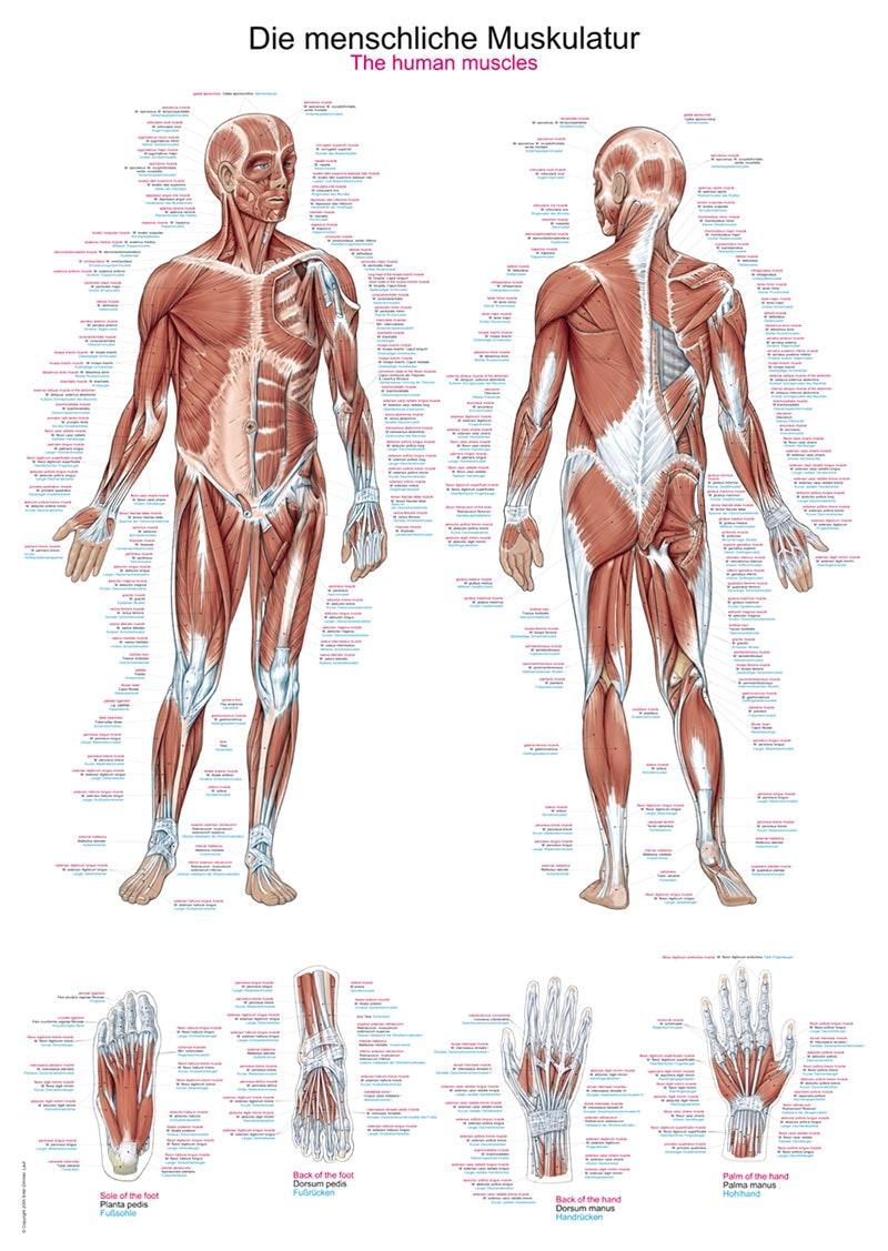 Muskelplakat med tekst på både latin, tysk og engelsk
