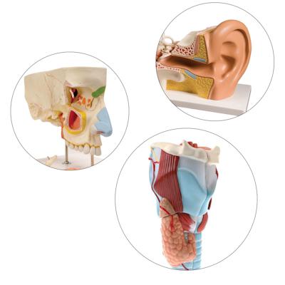 Øre-næse-hals modeller