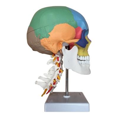 Färgkodad kraniemodell med halskotor och never