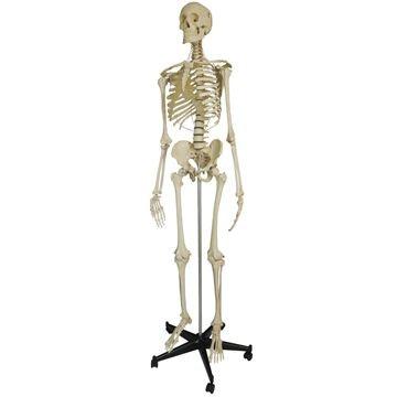 Rüdiger skeletmodel med tyverisikrede ekstremiteter