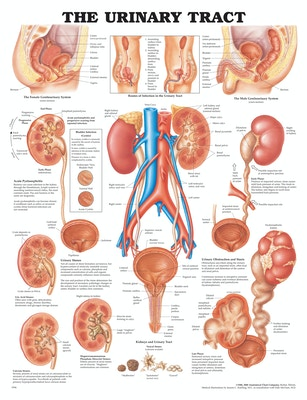 Plakat om nyren, urinvejene og relaterede sygdomme på engelsk