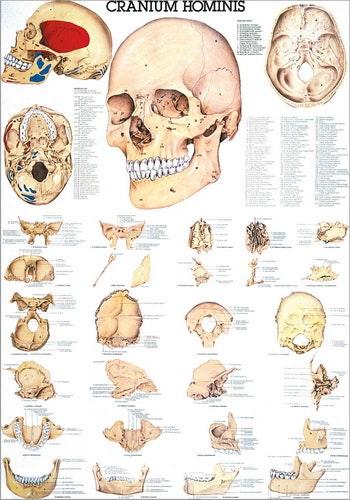 Plakt om kraniets knogler på latin og tysk