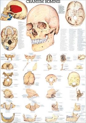 Plakat om kraniets individuelle knogler på latin og tysk