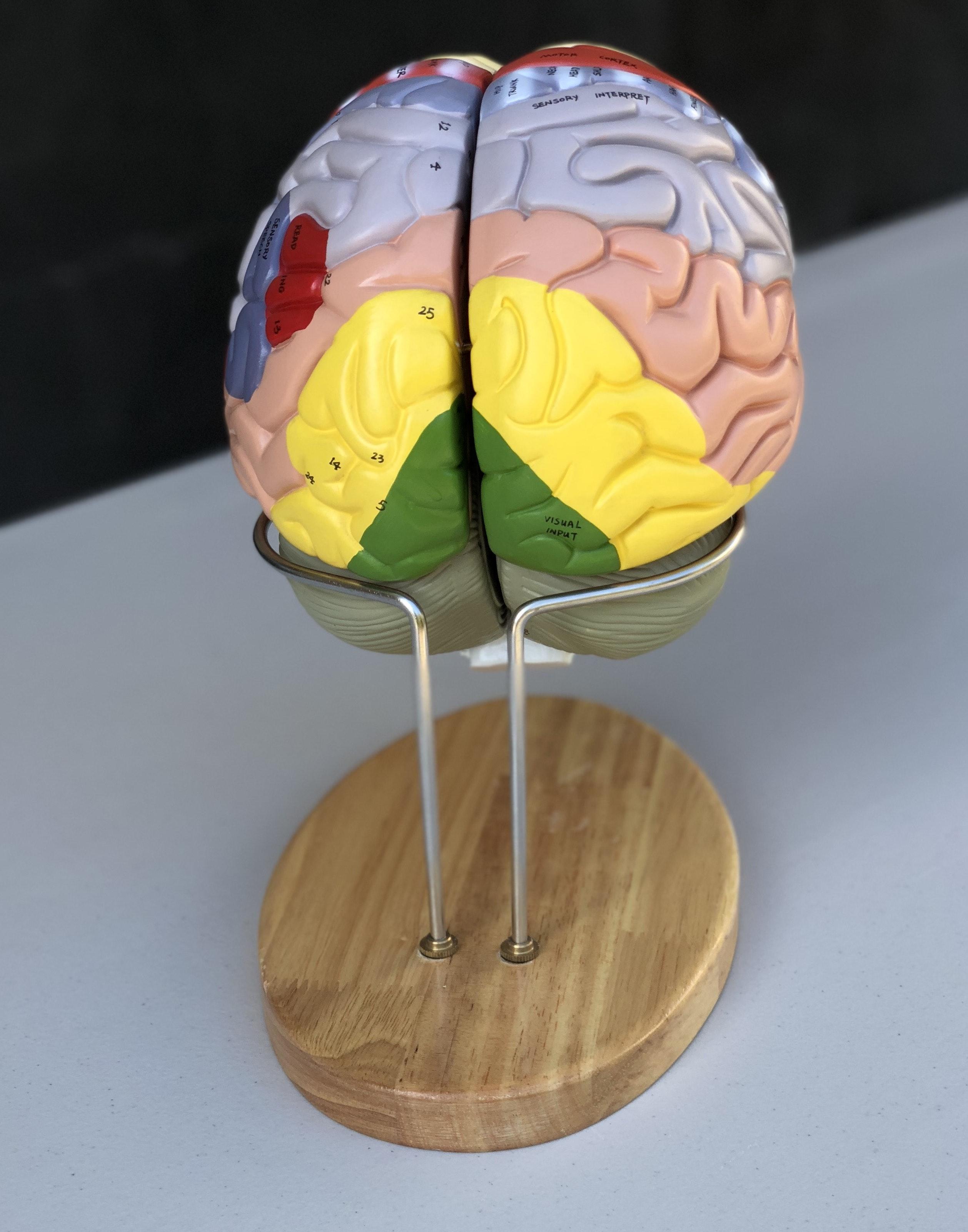 Stor pædagogisk hjernemodel med farver, navne og i 4 dele på stativ