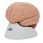 Enkelt 2-delt hjernemodel i mindre naturtro udseende