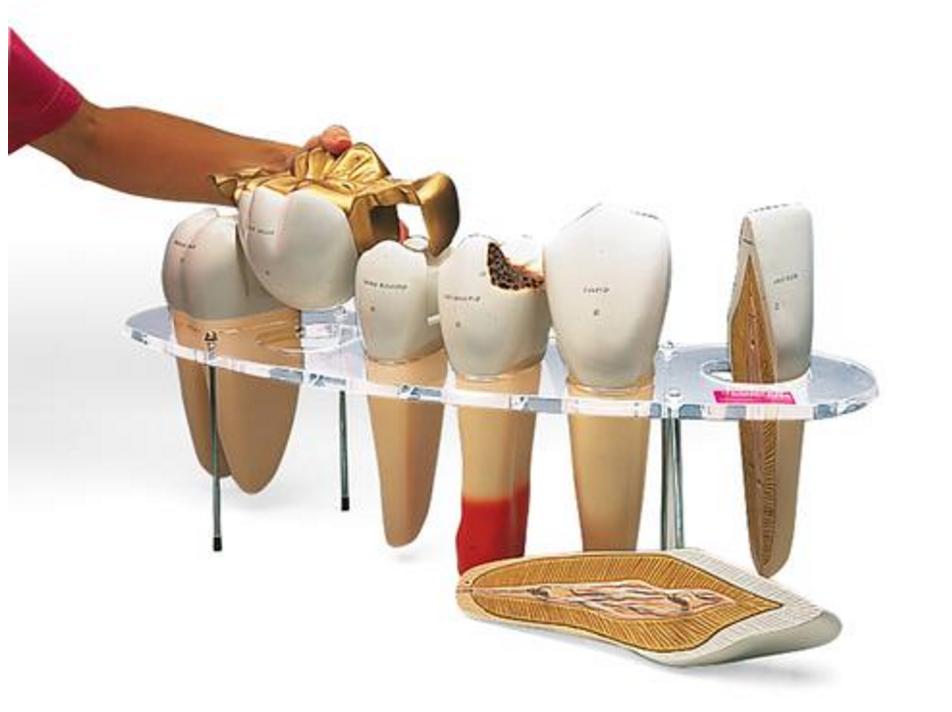 Tandmorfologi serie, 7 dele, 10x normalstørrelse