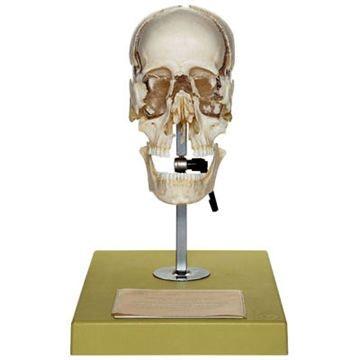 SOMSO Kunstig kraniemodel af en fuldvoksen