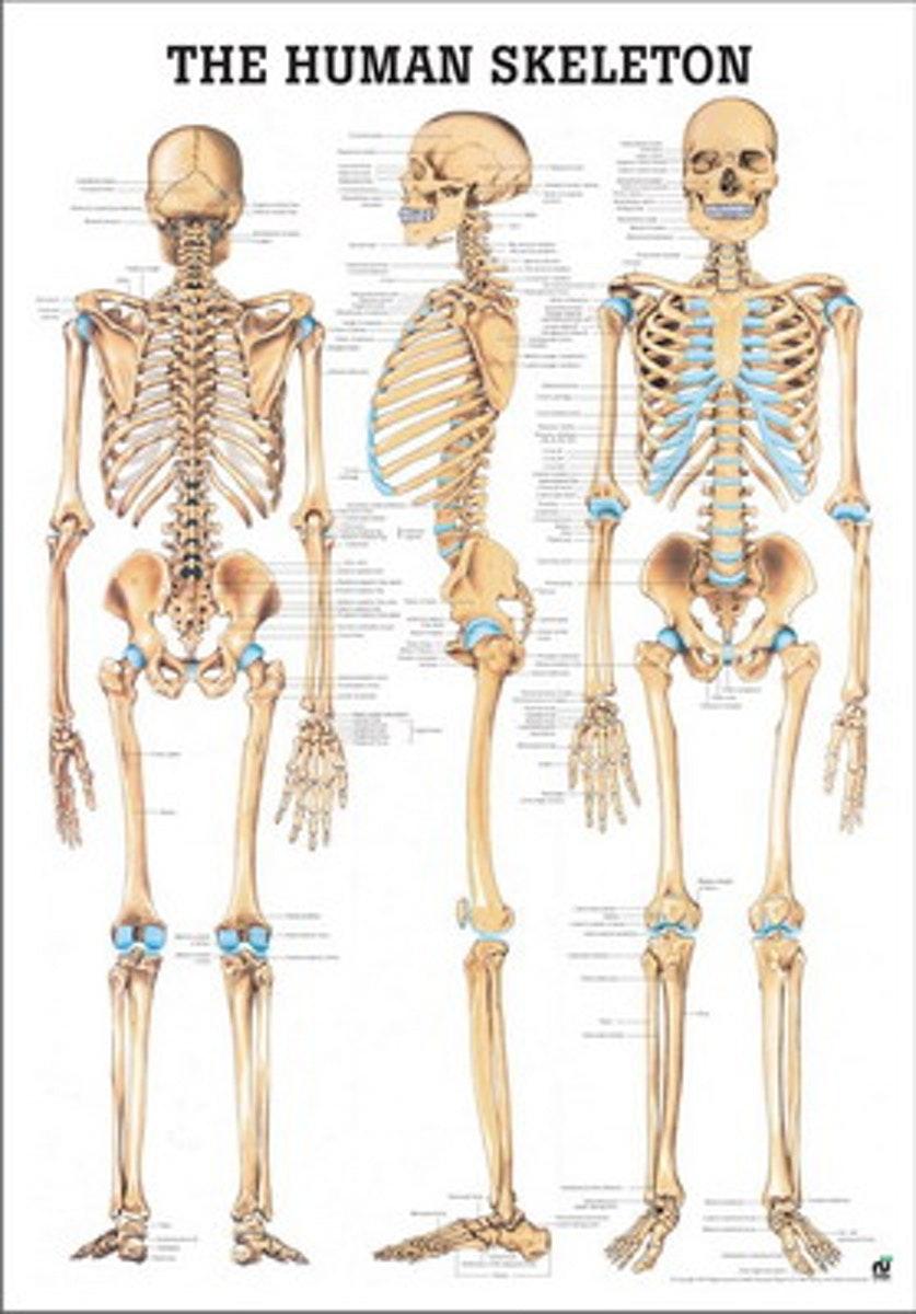 Skeletplakat på engelsk eller tysk & latin