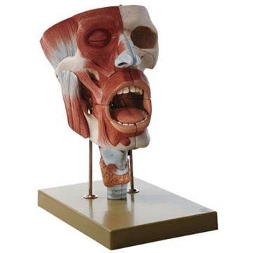 SOMSO Næsehule, munden og struben