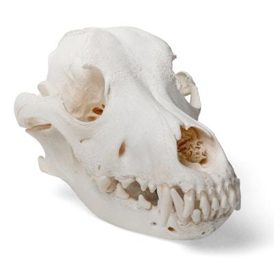 Hundkranium (Canis domesticus)