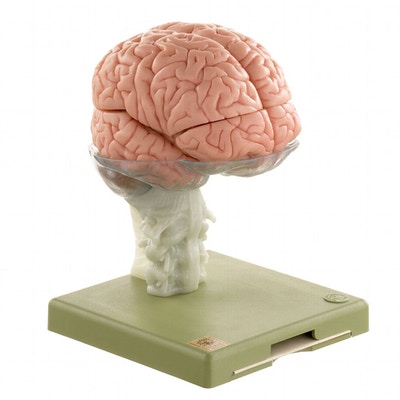 Hjernemodel med et meget realistisk udseende og farvet indre strukturer. Kan adskilles i 15 dele