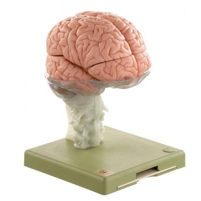 Hjernemodel i højeste kvalitet og med farvet indre strukturer. Kan adskilles i 15 dele