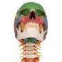 Menneskekranie på cervikal rygsøjle