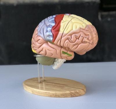 FORSTØRRET hjernemodel med mange områder i pædagogiske farver. Kan adskilles i 4 dele