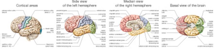 Hjerneplakat med hvide ophængslister, engelsk tekst