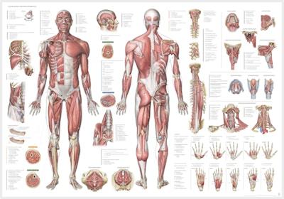 Muskelplakat på ren latin og dansk