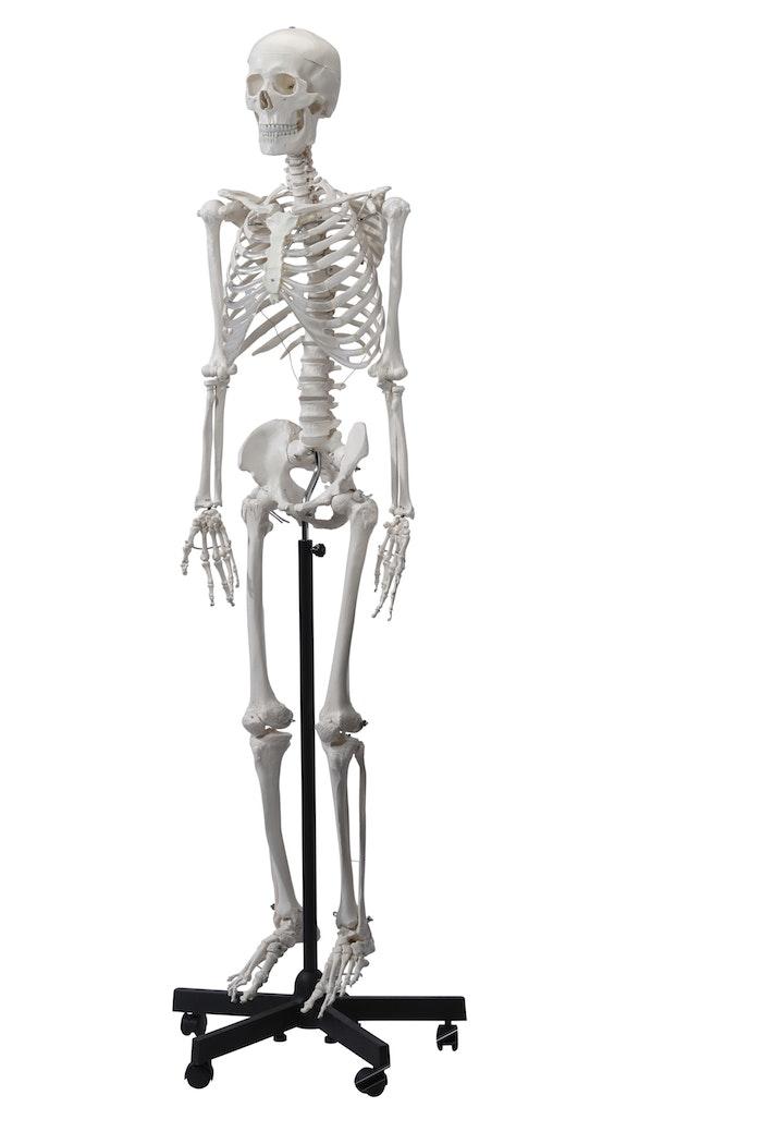 Detaljeret skeletmodel i voksen størrelse