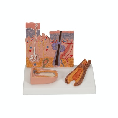 Detaljeret hudmodel af 2 hud-områder, en negl og en hårrod samlet på en stander