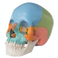 Kraniemodel med pædagogisk farvet knogler. Kan adskilles i 22 dele