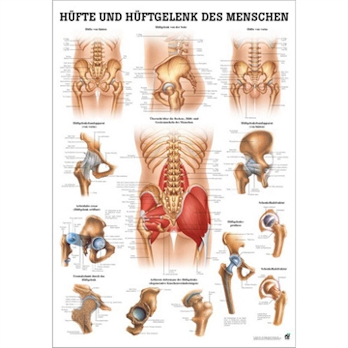 Hftens Anatomi Laminerad Tyska Latin