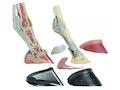 Hestefod i plastik med hoven, ledbånd, blodkar og nerver. Kan adskilles i 7 dele