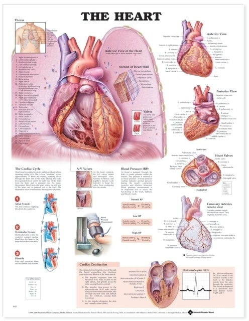 Hjertet lamineret plakat engelsk (The heart)
