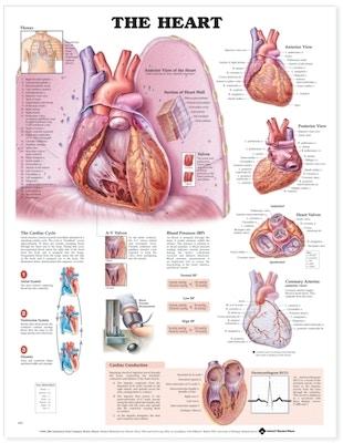 Lamineret plakat om hjertet på engelsk