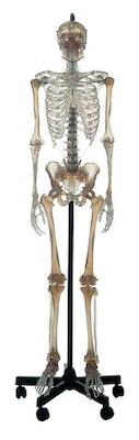 SOMSO transparent skeletmodel