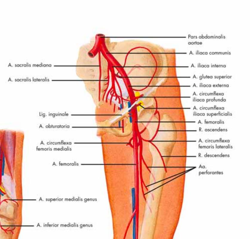 Ausgezeichnet V. Femoralis Superficialis Anatomie Ideen ...