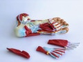 Komplet fodmodel med ledbånd, muskler, kar og nerver - kan adskilles i 9 dele