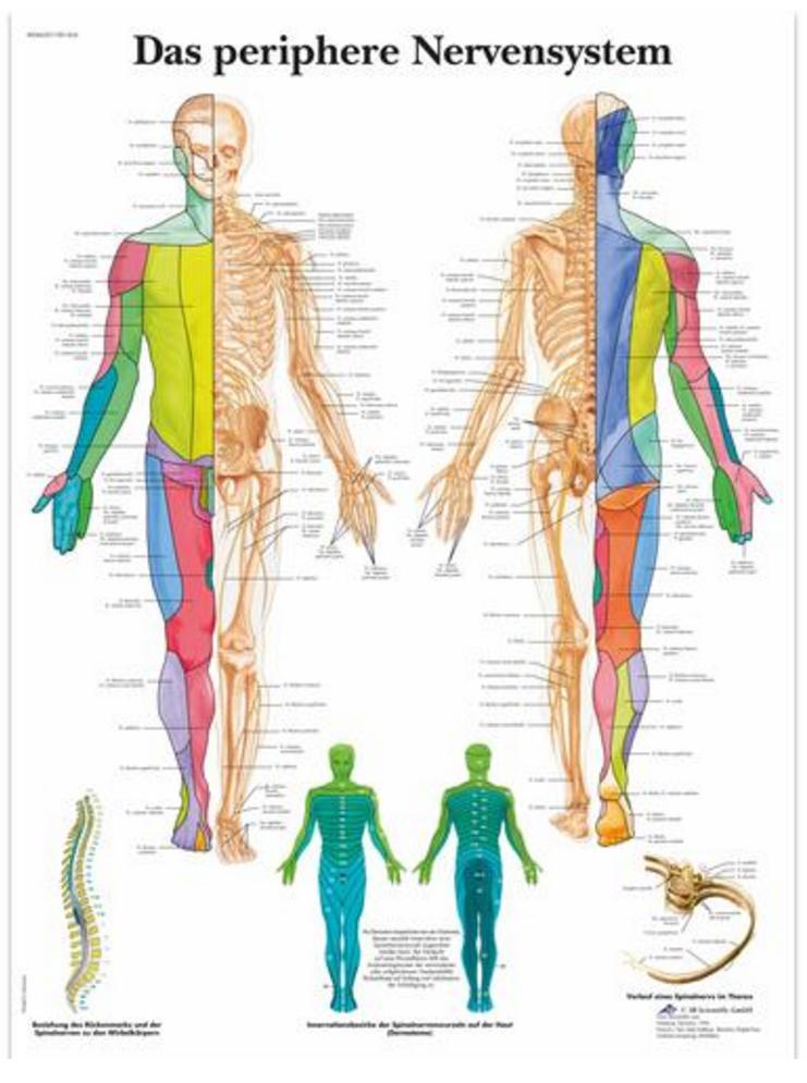 Spinalnerver (das periphere nervensystem) lamineret ren latin plakat