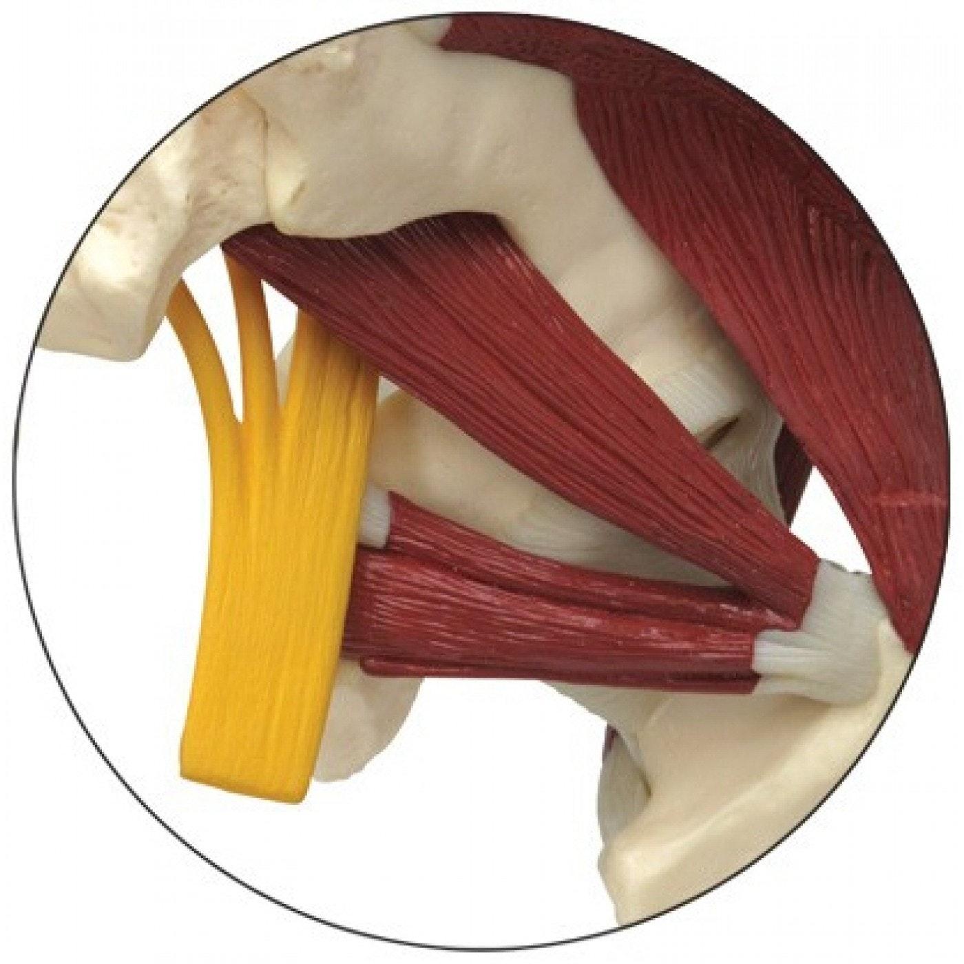 Komplet hoftemodel med 2 lumbalhvirvler, ledbånd, muskler og iskiasnerven