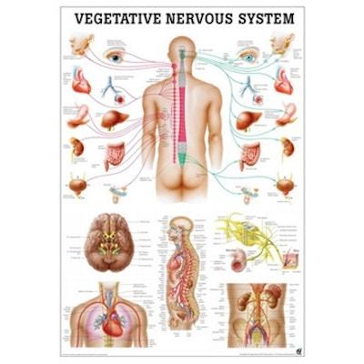 Det autonome nervesystem lamineret engelsk med sorte metallister