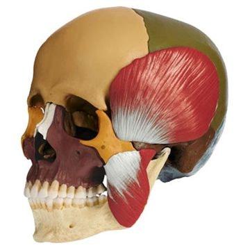 SOMSO 14-delt kraniemodel med farver og tyggemuskler