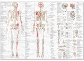 Bevægeapparatets Anatomi på dansk & latin (EA1)