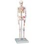 Mini skelet med farvede muskelangivelser