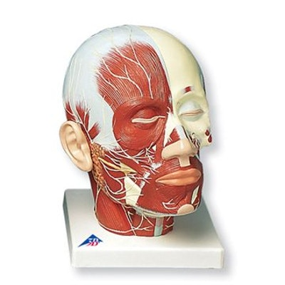 Hovedmodel med muskler og nerver