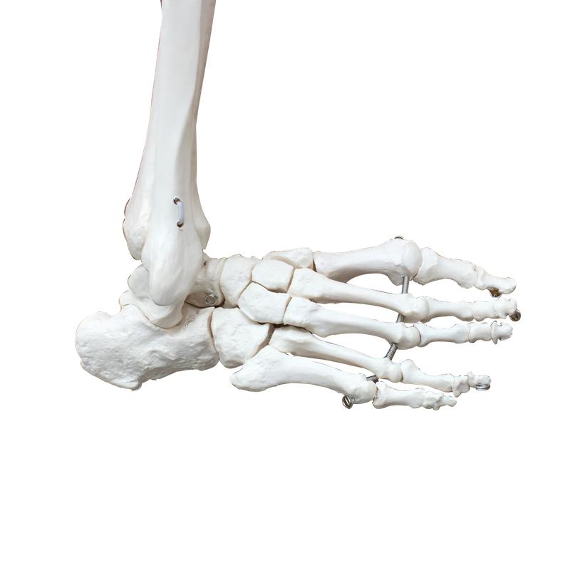 Billig knoglemodel af nedre ekstremitet